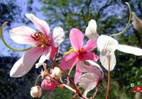 Chùm ảnh ngẩn ngơ hương sắc Muồng hoa đào