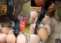 """Kinh hoàng rắn """"đột kích"""" nhà bếp nuốt sống trứng gà"""