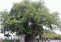 Những 'cụ' cây trăm tuổi ở Biên Hòa