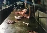 Bị phạt 13,5 triệu đồng vì giết mổ bò trái phép