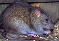 Khu vực sống nhiều chuột, báo cho cơ quan nào xử lý?