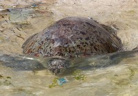 Thả rùa 'khủng', quý hiếm về biển