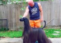 'Siêu mẫu chó' gây sốt với bộ lông dài óng ả