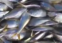 Video: Hàng vạn con cá chết phủ kín mặt nước ở Mỹ
