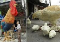 Mô hình gà lạ tại Hải Phòng gây sốt mạng xã hội