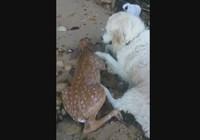Chó cứu hươu đuối nước thành 'anh hùng' mạng xã hội