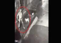 2 chú chó siêu cute, rượt tên trộm chạy té khói