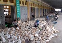 Lo ngại dịch cúm tràn vào Việt Nam