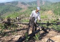 Quảng Nam: Tuần tới sẽ khởi tố vụ phá rừng ở Tiên Lãnh