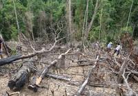 Bắt nguyên Giám đốc BQL rừng phòng hộ Sông Tranh