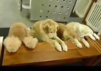 Clip những chú chó ăn xong tự dọn dẹp siêu dễ thương