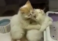 Clip 2 chú mèo massage cho nhau cực dễ thương