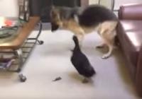 Clip: Vịt rượt đuổi chó chạy quanh nhà