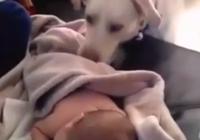 Cảm động với cảnh chú chó đắp chăn cho em bé