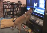 Biểu cảm của chú chó khi xem bộ phim về 'chó Bolt'