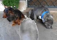 Chú chó xấu hổ vì bị chủ nhân tra khảo