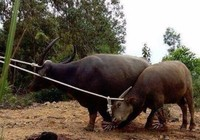 Hai con 'trâu điên' chuyên tấn công người dân đã sập bẫy thợ săn