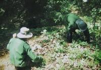 Sâm Ngọc Linh là 'tài sản' sở hữu của Quảng Nam và Kon Tum