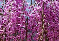 Ngắm hoa lan cực đẹp tỏa sáng trên cao nguyên