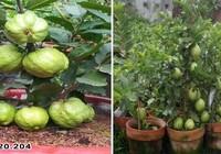Giống ổi trồng chậu siêu trái tại triển lãm Tôn vinh hàng Việt