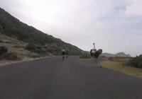 Hai tay đua xe đạp bỗng dưng bị đà điểu rượt đuổi