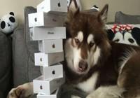 Thiếu gia Trung Quốc chơi trội, mua 8 iPhone 7 cho chó