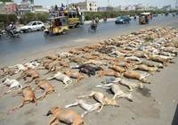 Sợ chó cắn, Pakistan đánh thuốc độc hơn 1.000 con chó