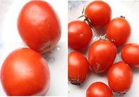 Dễ dàng nhận biết cà chua có hóa chất