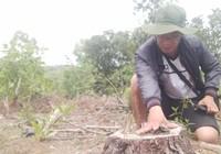 Khởi tố người bán rừng thông đặc dụng ở Huế
