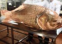Cá hô nặng hơn 1 tạ được đưa về Sài Gòn lên bàn nhậu