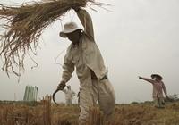 Nông dân Sài Gòn gặt lúa 'chạy' Tết