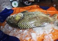 """Cá hô """"khủng"""" hơn 1 tạ ở Campuchia về nhà hàng Sài Gòn"""