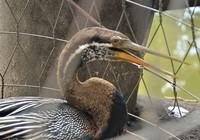Chim quý mắc lưới bắt cá của người dân ở Bình Thạnh