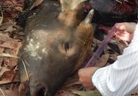 Vụ bò tót ở Đồng Nai bị giết: Ăn thịt rừng như ăn thuốc độc