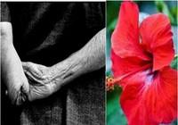 Vì sao hoa dâm bụt ở Củ Chi có màu đỏ thẫm?