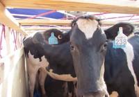 Vinamilk nhập thêm 400 con bò từ Úc