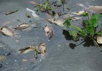 Cá chết nổi trắng kênh Nhiêu Lộc – Thị Nghè