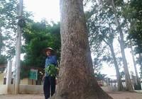 Kỳ bí rừng dầu cổ thụ ở Biên Hòa