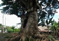 'Cụ' cây kỳ lạ ở cù lao xứ bưởi Đồng Nai