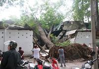 Cây cổ thụ đè sập hai phòng của Cung văn hóa Lao Động