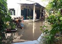 Vườn mai, ao cá ngập nặng sau mưa