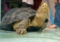 Rùa 'khủng' đi lạc chưa cấp giấy phép cho ai nuôi nhốt