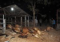 Cả đàn bò bỗng dưng lăn đùng ra chết?