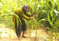 Cụ bà 90 tuổi lưng còng, tóc bạc vẫn trồng ngô tỉa bắp