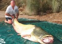 Bắt được cá trê nặng gần 100 kg