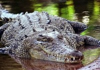 Tắm sông, bé 12 tuổi bị cá sấu ăn thịt!