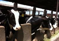 Đưa chất lượng nguồn sữa tươi Việt Nam lên hàng đầu Đông Nam Á