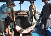 Câu được 3 cá mập trên biển Quy Nhơn