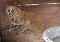 Quảng Bình: Người dân giao nộp hai con cu li quý hiếm