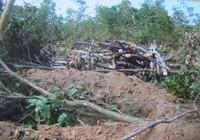 Phá hơn 1 ha rừng để đốt than